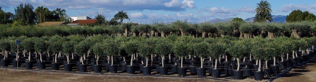 Online de mooiste olijfbomen