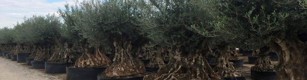 Online olijfbomen kopen en laten bezorgen bij u thuis