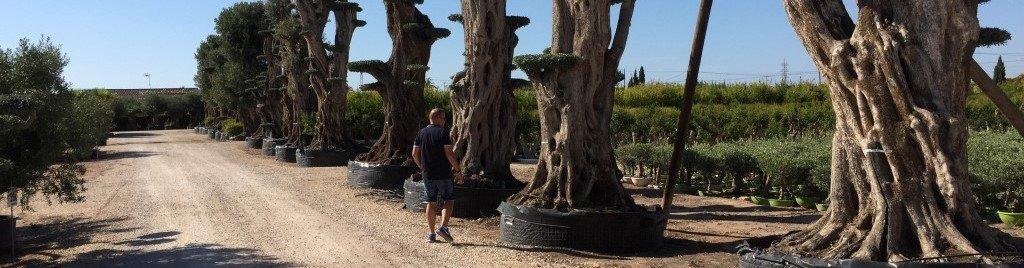 Online olijfbomen kopen bij dé olijfboomexpert