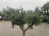 Olijfboom voor binnen 18 á 20 stamomtrek_