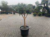 Olijfboom voor binnen 20 á 25 stamomtrek_