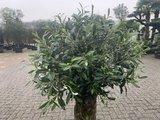 Olijfboom voor binnen 40 á 50 stamomtrek_