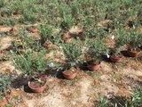 Olijfboom struik 60/70 cm_