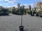 Olea europaea 10 á 12 cm stamomtrek_