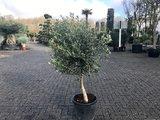 Olea europaea 10 á 15 cm stamomtrek_