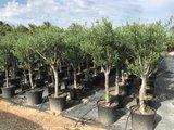 Olea europaea 20 á 30 cm stamomtrek_
