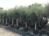 Olea europaea 30 á 40 cm stamomtrek_