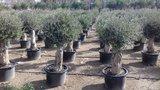 Olea europaea (bol) 40 á 60 cm stamomtrek_