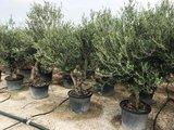 Olea europaea 40 á 50 cm stamomtrek_