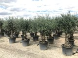 Olea europaea (Hojiblanca) 50 á 60 cm stamomtrek_