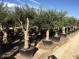 Olijfboom (Olea europaea) 50 á 60 cm stamomtrek_