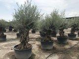 Olijfboom bonsai 80 á 100 cm stamomtrek_