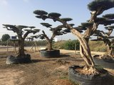 Olijfboom (Olea) macro bonsai_