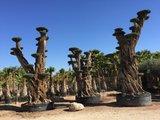 Olijfboom (mega bonsai) mega 5-8 meter hoog_