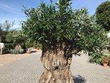 Olijfboom voor binnen 140 á 160 stamomtrek_