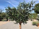 Olijfboom voor binnen 16 á 18 stamomtrek_