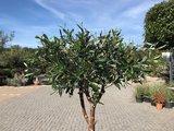 Olijfboom voor binnen 12 á 14 stamomtrek_