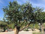 Olijfboom voor binnen 50 á 60 stamomtrek_