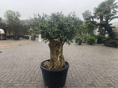Olijfboom voor binnen 60 á 80 stamomtrek