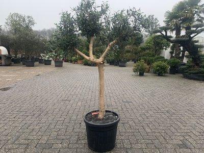 Olijfboom voor binnen 20 á 25 stamomtrek