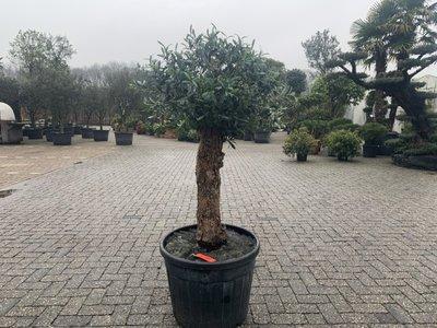 Olijfboom voor binnen 40 á 50 stamomtrek