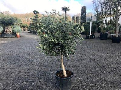 Olea europaea 10 á 15 cm stamomtrek