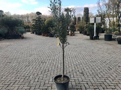 Olea europaea 12 á 14 cm stamomtrek