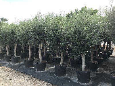 Olea europaea 30 á 40 cm stamomtrek