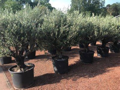 Olijfboom vertakt 60 á 80 cm stamomtrek