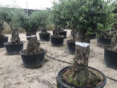 Olijfboom bonsai 60 á 80 cm stamomtrek
