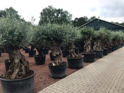 Olijfboom bonsai 80 á 100 cm stamomtrek