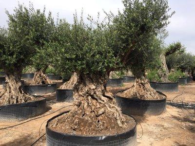 Olijfboom (Lechin) met een stamomtrek van +300cm