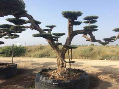 Olijfboom (Olea) macro bonsai