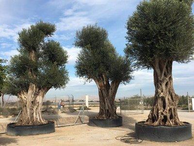 Olijfboom (Olea) mega 5-7 meter hoog