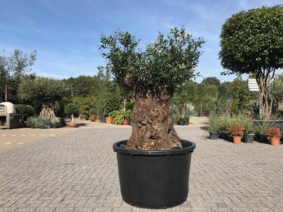 Olijfboom voor binnen 140 á 160 stamomtrek