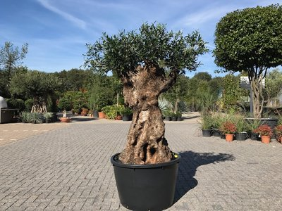 Olijfboom voor binnen 110 á 120 stamomtrek