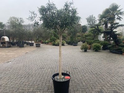Olijfboom voor binnen 18 á 20 stamomtrek