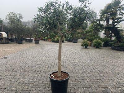 Olijfboom voor binnen 20 á 30 stamomtrek