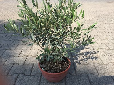Olijfboom struik 60/70 cm