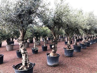 Olijfboom (Olea europaea) 50 á 60 cm stamomtrek