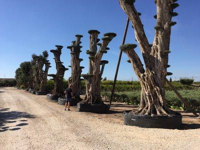 Olijfboom (mega bonsai) mega 5-8 meter hoog