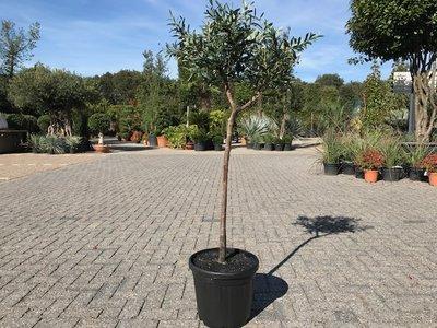 Olijfboom voor binnen 8 á 10 stamomtrek