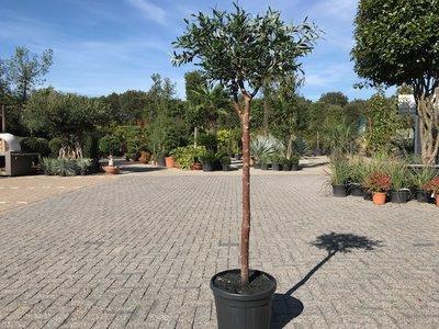Olijfboom voor binnen 12 á 14 stamomtrek