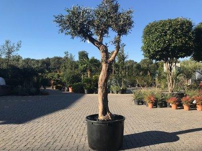 Olijfboom voor binnen 50 á 60 stamomtrek